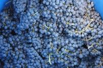 Blauer Burgunder